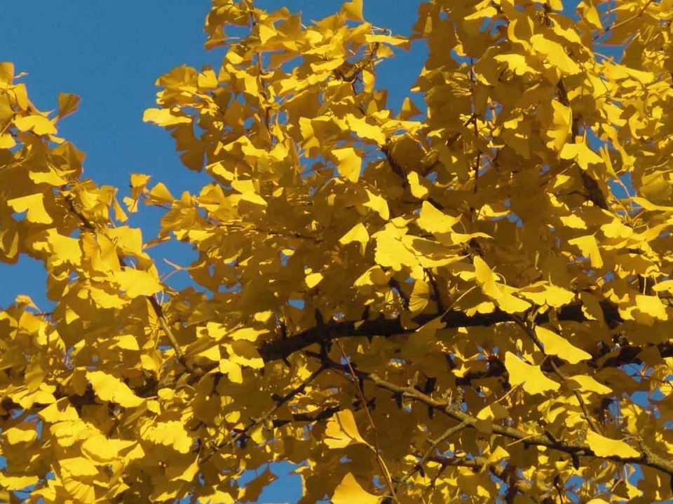 Layoutfoto Gingko © Paul Thomas Schmidt • Zirndorf